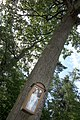 Silberne Eiche Baum 1 Schönberg-Fernitz.jpg