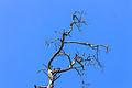 Silhouet dode boomtop in de strakblauwe lucht.Location, Kroondomein Het Loo 04.jpg