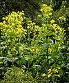 Silphium perfoliatum L. (8073321551).jpg