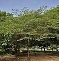 Singapur cherry Muntingia calabura tree in Secunderabad, AP W IMG 6651.jpg