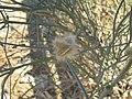 Sisyndite spartea Zygophyllaceae IMG 8186.JPG