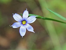 Sisyrinchium angustifolium blue-eyed grass close.jpg
