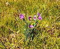 Sisyrinchium douglasii (Grass-widow) - Flickr - brewbooks.jpg