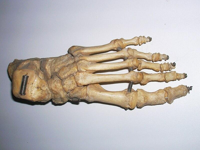 File:Skeleton foot.JPG