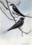 Skimmer the Tree Swallow, Forktail the Barn Swallow.jpg