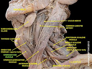 Sternohyoid muscle - Image: Slide 4cc