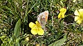Small Heath (Coenonympha pamphilus) (8997646158).jpg