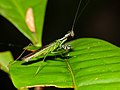 Small Mantis (Hapalopeza sp.) (15456826741).jpg