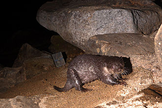 Camera trap - Small-clawed otter photographed by a camera trap