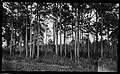 Small pine timber, near Edenton, North Carolina, May 10, 1927. (16236711981).jpg