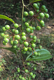 Smilax zeylanica fruits.jpg