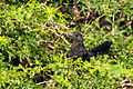 Smooth-billed Ani - Garrapatero Común (Crotophaga ani) (10555027326).jpg