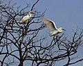 Snowy Egrets Edwin B. Forsythe NWR New Jersey (29839529).jpg