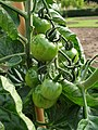 Solanales - Solanum lycopersicum - 39.jpg