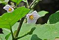 Solanum melongena 24 08 2012 (2).JPG