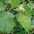 Solanum torvum, Turkeyberry plant. (11397105433).jpg