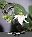 Solanum villosum subsp. alatum sl59.jpg