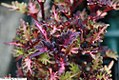Solenostemon scutellarioides Merlins Magic 1zz.jpg