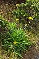 Sonchus acaulis - Macizo de Teno 02.jpg
