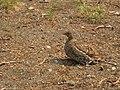 Sooty Grouse- Dendragapus fuliginosus (9403830978).jpg