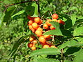 Sorbus americana, Whitefish Island 5.JPG