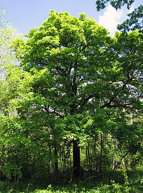 Description de l'image  Sorbus torminalis Full tree.jpg.