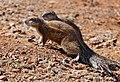 South African Ground Squirrels (Xerus inauris) (32272469790).jpg