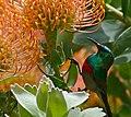 Southern Double-collared Sunbird (Cinnyris chalybeus) male visiting Leucospermum flowers ... (32157576183).jpg