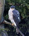 Sparrowhawk at the bottom of the garden 1 (5339463544).jpg