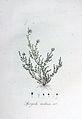 Spergula nodosa — Flora Batava — Volume v6.jpg