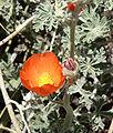 Sphaeralcea grossulariifolia 6.jpg