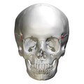 Sphenosquamosal suture - skull - anterior view01.png