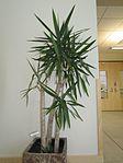 Spineless yucca (35147496836).jpg