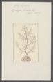 Spongia fucorum - - Print - Iconographia Zoologica - Special Collections University of Amsterdam - UBAINV0274 112 05 0016.tif