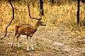 Spoted Deer.jpg