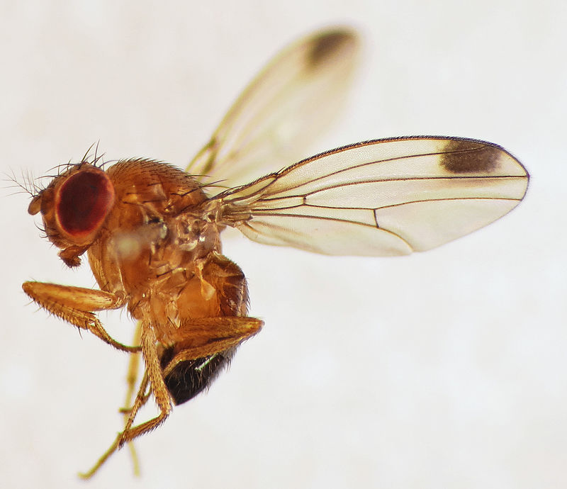 By Martin Cooper from Ipswich, UK - Spotted-wing Drosophila (Drosophila suzukii) male, CC BY 2.0,
