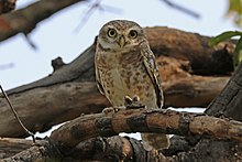 Spotted owlet (Athene brama indica).jpg