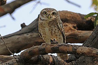 Spotted owlet species of bird
