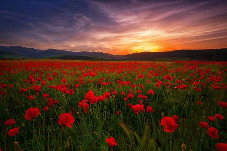 Field of flowers near Guelma