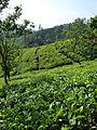 Sri Lanka-Province du Centre-Plantations de thé (6).jpg