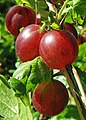 Stachelbeere (Ribes uva-crispa).jpg