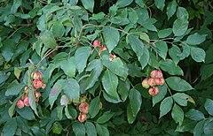 Staphylea pinnata 2.jpg