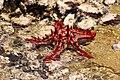 Starfish 10 (paulshaffner).jpg