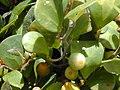 Starr-010425-0112-Ficus deltoidea-leaves and fruit-Makawao-Maui (23905752663).jpg