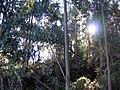 Starr-041211-1307-Eucalyptus sp-habit-Puu Nianiau-Maui (24425408260).jpg
