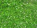 Starr-050815-3379-Erigeron karvinskianus-flowers-Pohakuokala Gulch-Maui (24433548249).jpg