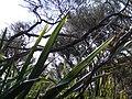 Starr-070405-6784-Phormium tenax-leaves-Munro Trail-Lanai (24259112344).jpg