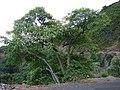 Starr-080314-3589-Aleurites moluccana-habit-West Maui-Maui (24277993954).jpg