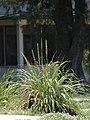 Starr-080531-4822-Eragrostis variabilis-habit with Laysan albatross chicks seeking shade-Bravo barracks Sand Island-Midway Atoll (24910801465).jpg