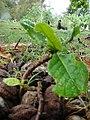 Starr-080607-7245-Terminalia catappa-seedlings-Medical clinic Sand Island-Midway Atoll (24915806155).jpg